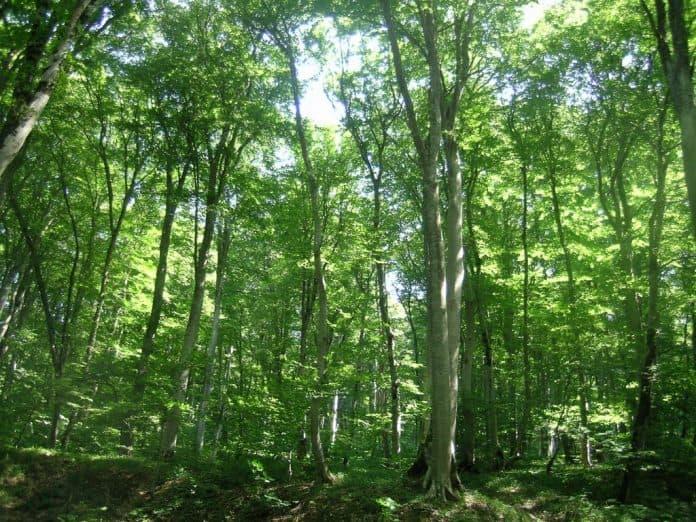 бук лес