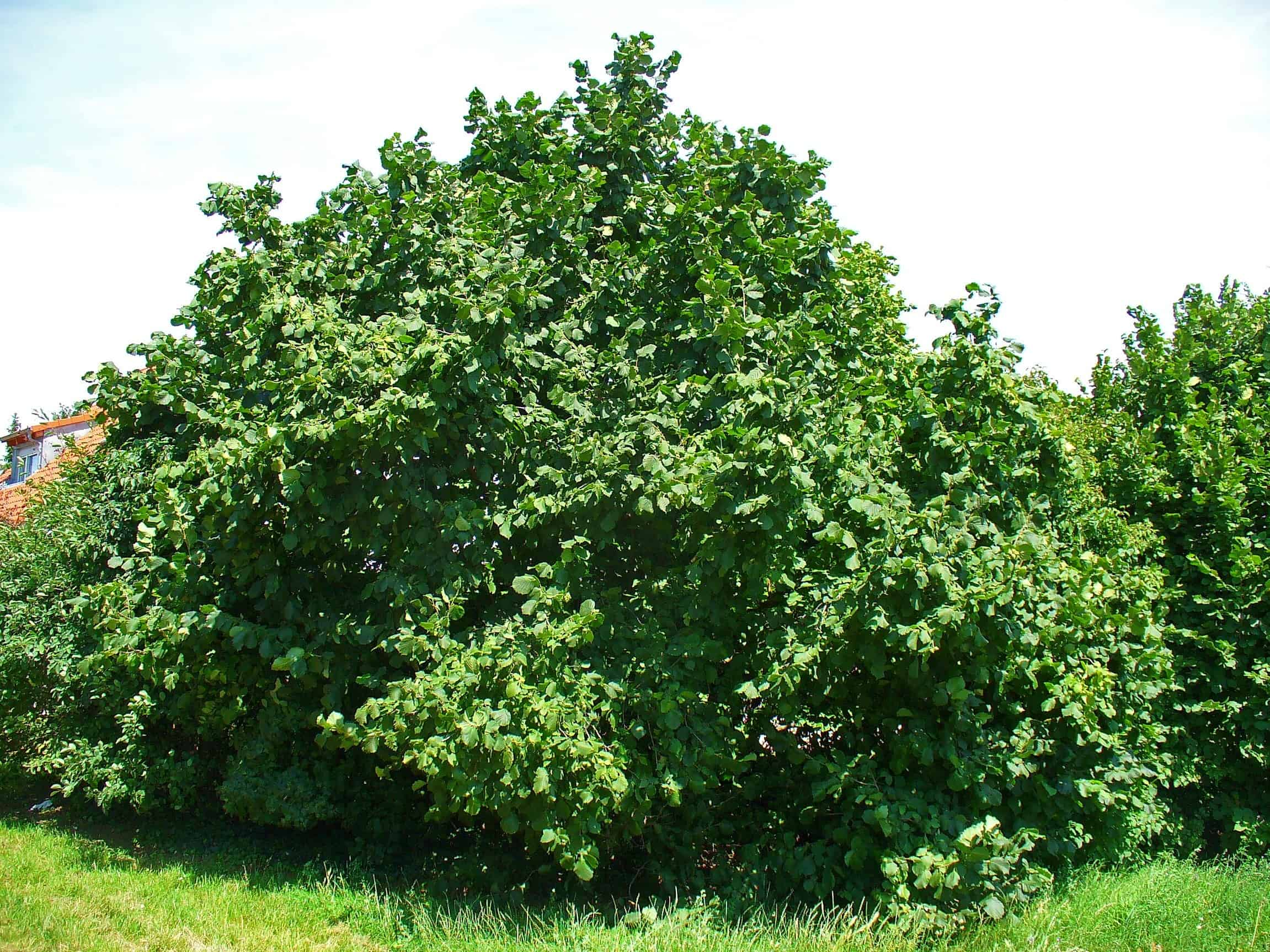 Corylus_avellana_tree