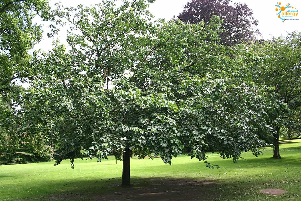 Morus_tree