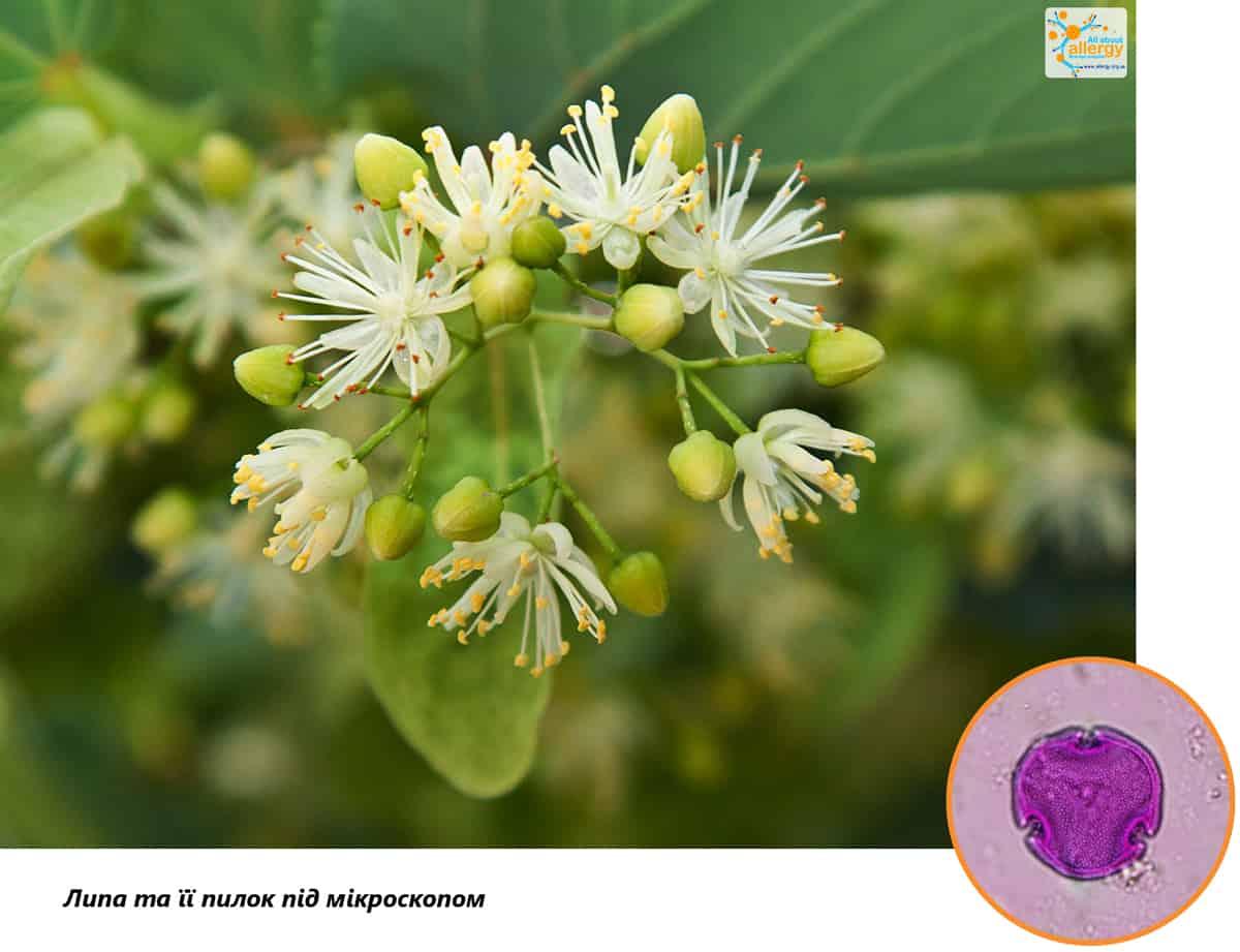 Аллергопрогноз: пыльца липы