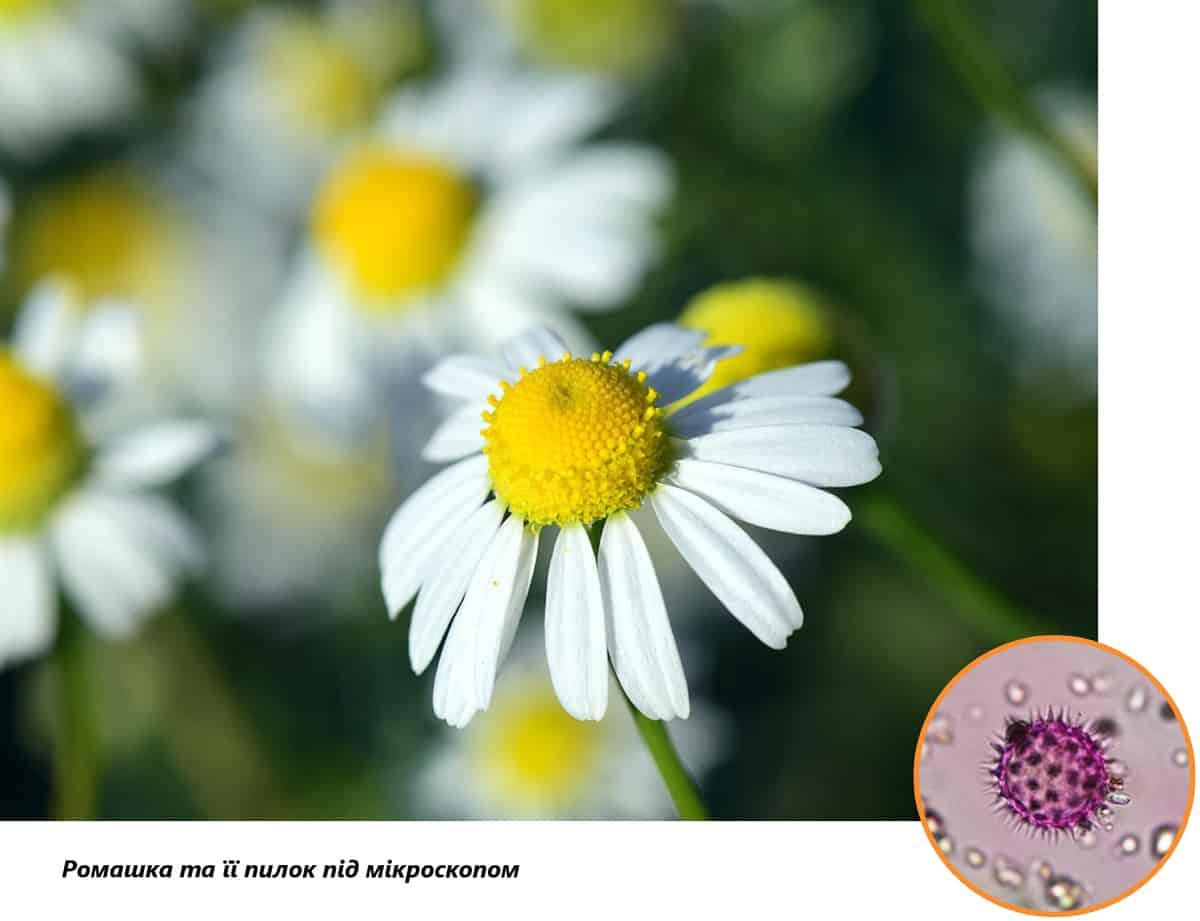 Аллергопрогноз: пыльца ромашки