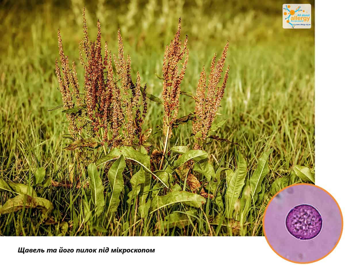 Аллергопрогноз: щавель и его пыльца