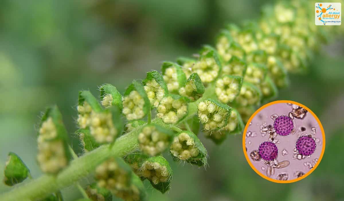 Аллергия на амброзию: пыльца под микроскопом