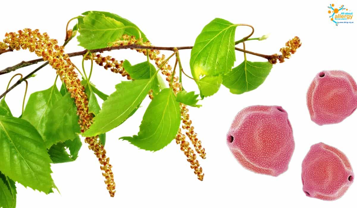 Березова алергія: так виглядає пилок